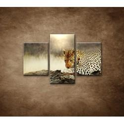 Obrazy na stenu - Odpočívajúci leopard - 3dielny 90x60cm