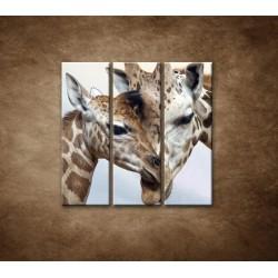 Obrazy na stenu - Žirafy - 3dielny 90x90cm