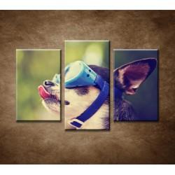 Obrazy na stenu - Čivava v okuliaroch - 3-dielny 75x50cm