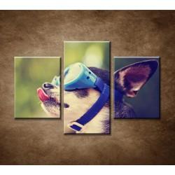 Obrazy na stenu - Čivava v okuliaroch - 3dielny 90x60cm