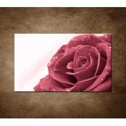 Ruža s rosou